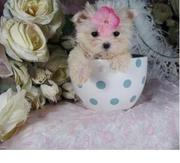 Exquisitely AMAZING Tiny maltese puppy
